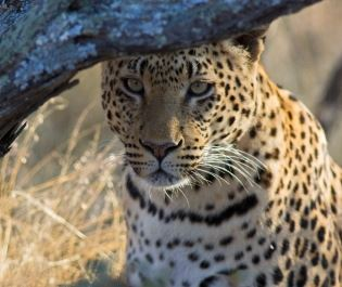 Leopard in Okinkima Nature Reserve - getty