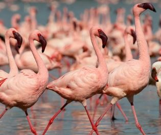 Loldia House flamingoes by Lake Naivasha