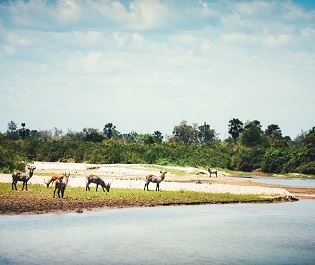 Getty waterbuck by river in Selous Game Reserve