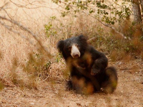 Sloth bear at Noel Rodrigo's Leopard Safaris