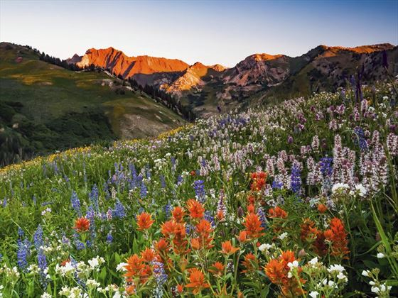 Wildflowers in the Albion Basin, outside of Salt Lake City