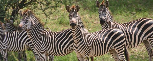 Jenn O'Neill zebra in Selous