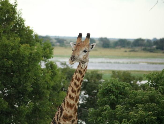 Giraffe in Chobe