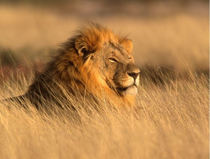 Lion in Etosha - getty