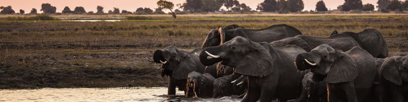 Getty elephants in the Okavango Delta