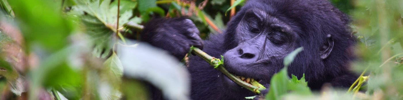 Mike Collins' gorilla in Uganda