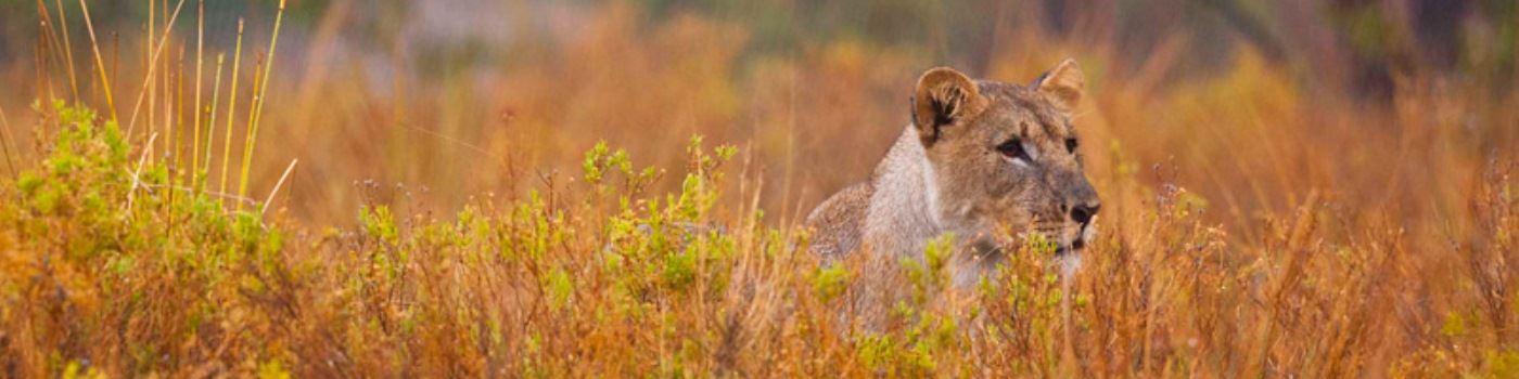 Grootberg Lodge lion in Damaraland