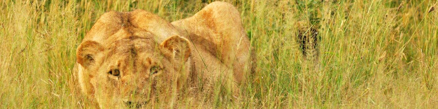 Getty lion in Hwange