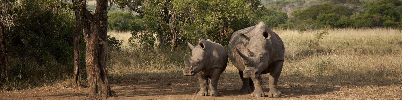Phinda Game Reserve rhino