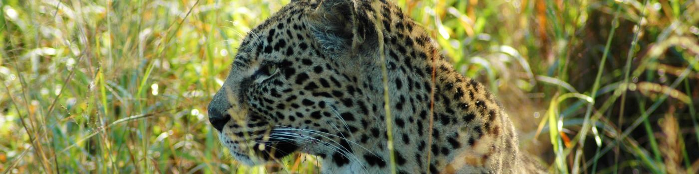 Mike Collins' leopard in South Africa