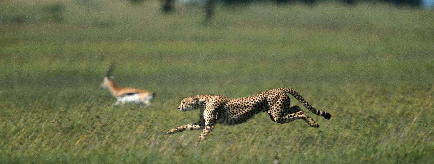 Cheetah hunting in Masai Mara