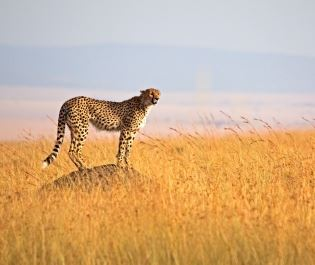 Cheetah in Serengeti National Park