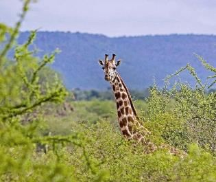 Galdessa Camp giraffe in Tsavo East
