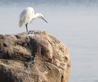 White egret in Lake Victoria