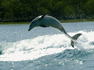 Dolphin leaping, Naples, Florida