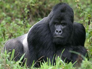 Gorilla in Virunga Mountains