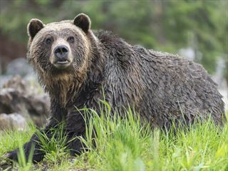 Grizzly in the Canadian wilderness