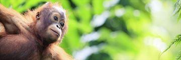 Baby orangutan in Malaysia