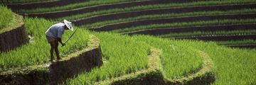 Balinese farmer working in the rice paddies