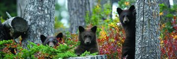 Bear family in North Slope, Whistler