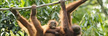 Orangutan family in Sepilok Sanctuary, Borneo