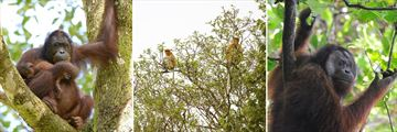 Orangutans & Proboscis Monkeys in Borneo