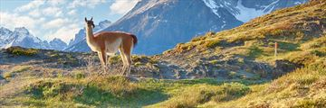 A guanaco in Patagonia