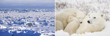 Polar Bear Sightings in Churchill, Manitoba