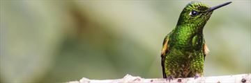 Copper rumped hummingbird in Tobago