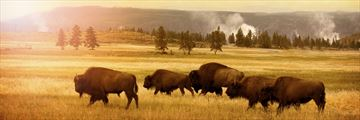 Herd of bison in Yellowstone National Park