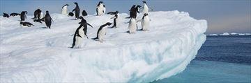 Adelie penguins relaxing on an iceberg