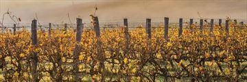 Margert River vineyards