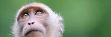Close up of monkey in Khao Sok National Park