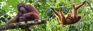 Orangutans in Rainforest