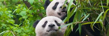 Panda Bear Couple, Chengdu