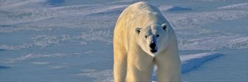 Polar bear exploring Churchill, Manitoba