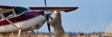 Polar Bear Viewings (Credit: Churchill Wild)