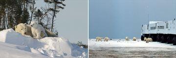 Polar Bear Sightings & Tundra Buggy at Polar Bear Point
