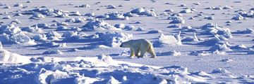 Polar Bear in its natural habitat in Churchill, Manitoba