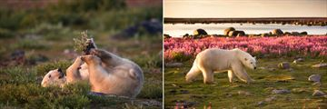 Summer Season in Churchill, Polar Bear Watching (Credit: Churchill Wild)