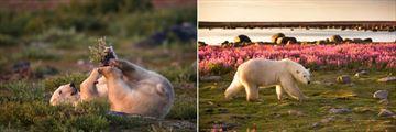 Summer Season in Churchill, Polar Bear Watching (Credit: Churchill Wild)