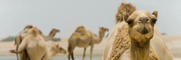 Ras Al Khaimah desert camels