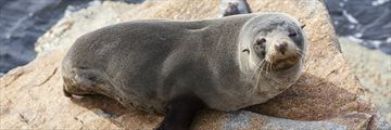 Seals in Norooma, New South Wales