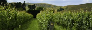 Verdant vineyard in Hawkes Bay