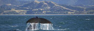 Whales in Kaikoura