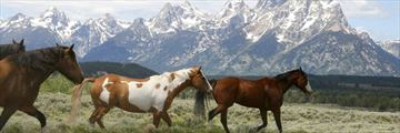 Wild horses in Jackson Hole, Wyoming