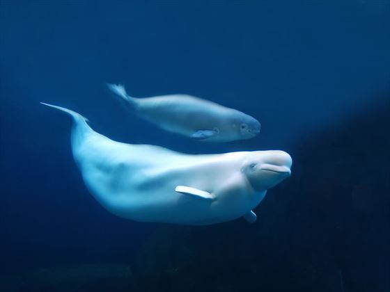 Beluga with calf