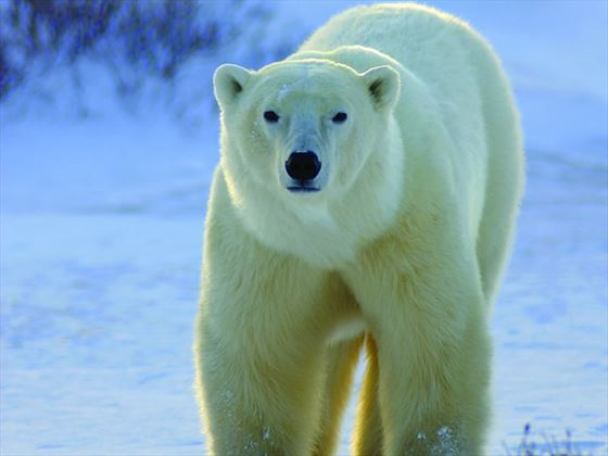 Polar Bear, Churchill