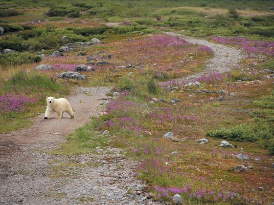 Polar bear on trail