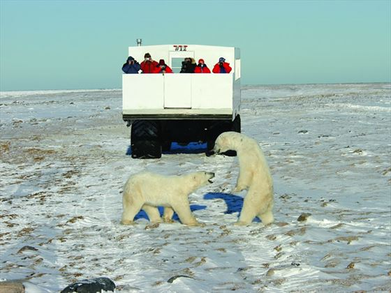 Tundra Buggy and Polar bears